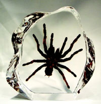 Encased Tarantula