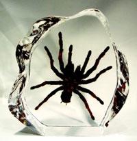 Encased Tarantula