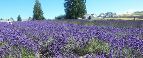 Lavender field at Purple Haze Farm