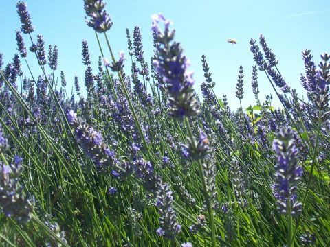 Bee in flight amongst the lavender
