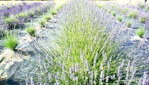 A Beautiful Sea of Lavender