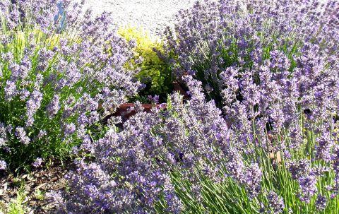Sunshine Lavender Farm