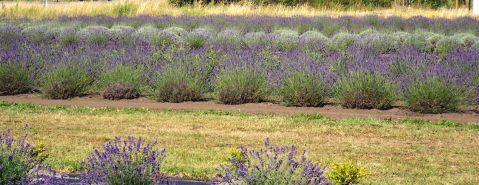 Sunshine Lavender Farm fields of lavender