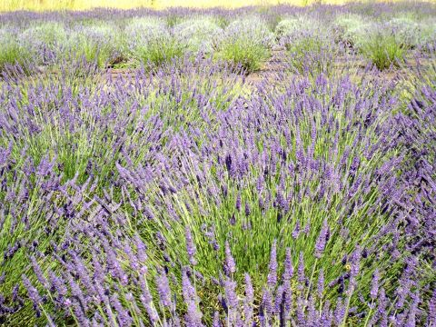 A Variety of Lavender