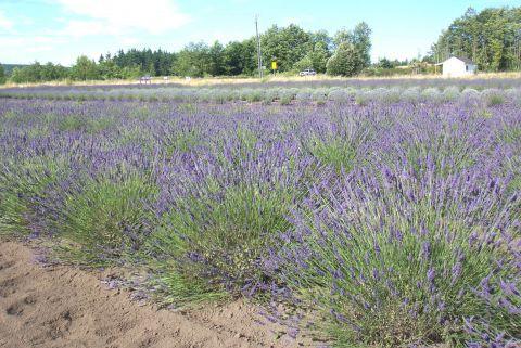 Beautiful Day Amongst Lavender